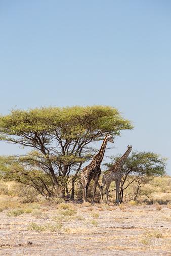 Giraffe「Giraffe in the Kalahari, Botswana」:スマホ壁紙(1)