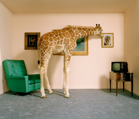 Giraffe「Giraffe in living room looking at picture of lion on wall」:スマホ壁紙(15)