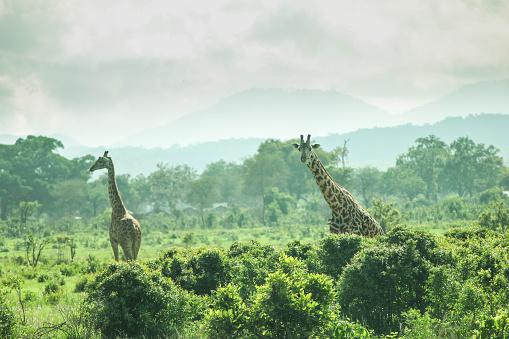 Giraffe「Giraffe in wild」:スマホ壁紙(10)