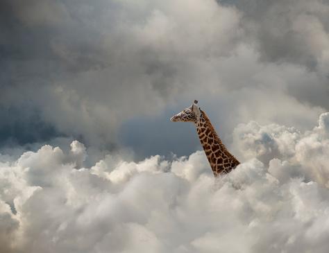 Giraffe「Giraffe In The Cloud」:スマホ壁紙(11)
