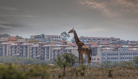 Giraffe「Giraffe in the savannah against modern city buildings」:スマホ壁紙(10)