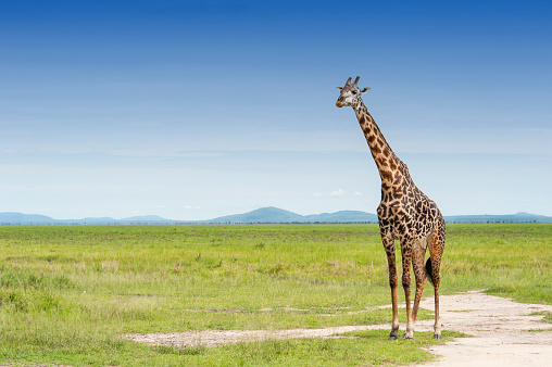 Giraffe「Giraffe in the green plains of Katavi, Tanzania」:スマホ壁紙(2)