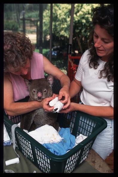 Koala「Fire Devastates Forest And Wildlife」:写真・画像(12)[壁紙.com]