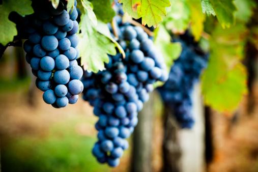 Grape「Grapevine in autumn」:スマホ壁紙(6)