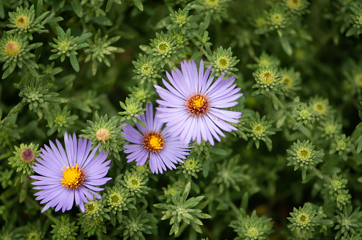 Aster「Lavender Aster Novi-Belgii in Full Bloom」:スマホ壁紙(7)