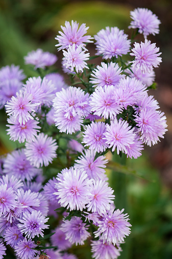 Aster「Lavender Aster Novi Belgii in Full Bloom」:スマホ壁紙(9)