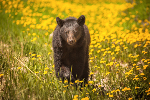 Walking「Bear walking through yellow flowers in Jasper National Park, Alberta, Canada」:スマホ壁紙(15)