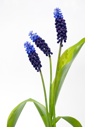 Grape Hyacinth「School Reunion」:スマホ壁紙(19)