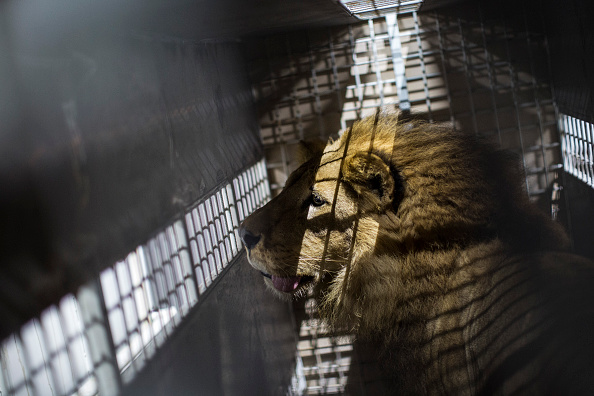 Animal「Thirty Three Former Circus Lions Are Airlifted Back To South African Sanctuary」:写真・画像(1)[壁紙.com]