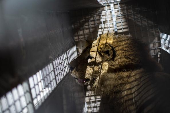 動物「Thirty Three Former Circus Lions Are Airlifted Back To South African Sanctuary」:写真・画像(16)[壁紙.com]
