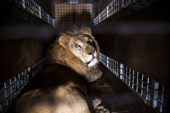 Three Lions「Thirty Three Former Circus Lions Are Airlifted Back To South African Sanctuary」:写真・画像(9)[壁紙.com]