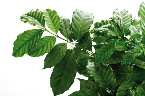Horticulture「Coffee tree (Coffea arabica), close-up」:スマホ壁紙(2)