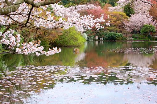 桜「日本庭園」:スマホ壁紙(5)