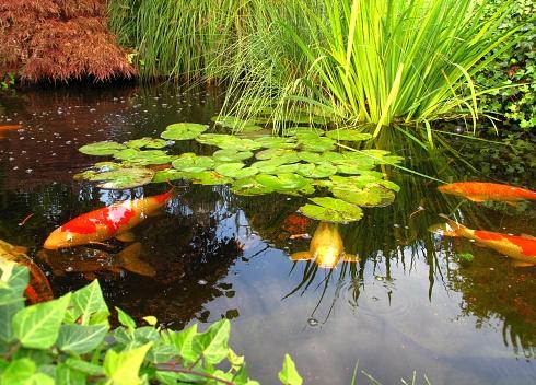 Carp「Japanese garden - big kois in the pond」:スマホ壁紙(19)