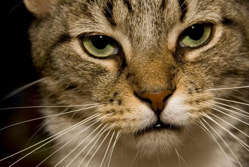 Mixed-Breed Cat「Tabby Cat」:スマホ壁紙(15)