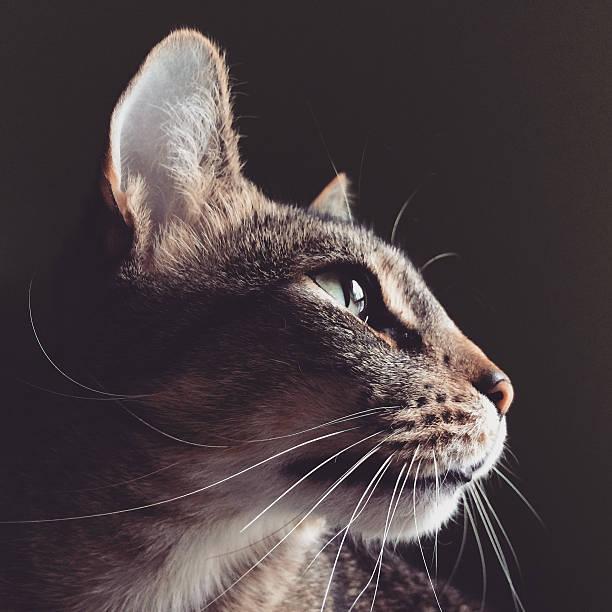Tabby Cat Portrait:スマホ壁紙(壁紙.com)
