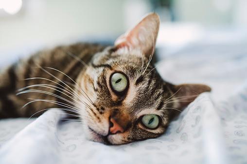 カメラ目線「Tabby cat, portrait on the bed」:スマホ壁紙(19)