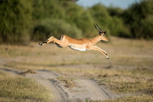 Antelope「Leaping Impala, Chobe National Park, Botswana」:スマホ壁紙(10)