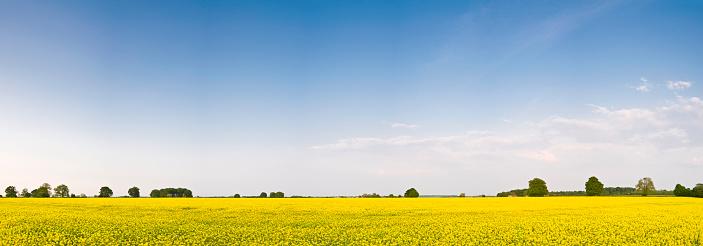 アブラナ「バイオディーゼル穀物青い空」:スマホ壁紙(13)