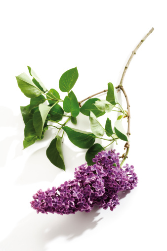 Branch - Plant Part「Lilac (Syringa vulgaris), close-up」:スマホ壁紙(17)