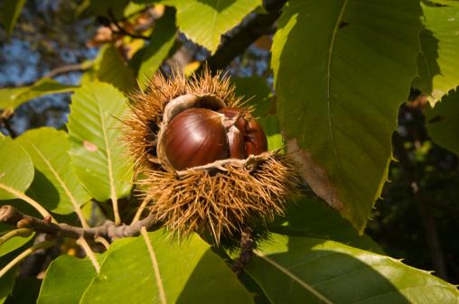 chestnut「Italy, Farra di Soligo, chestnut」:スマホ壁紙(1)