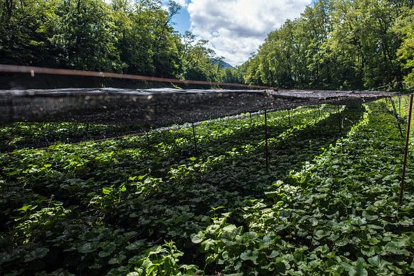 ビジネスと経済「Wasabi Farming In Japan」:写真・画像(12)[壁紙.com]