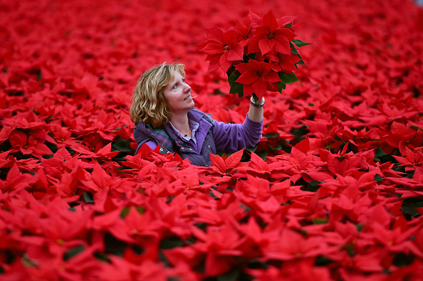 Finance and Economy「Christmas Poinsettia's Ready For Distribution」:写真・画像(13)[壁紙.com]