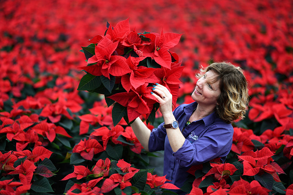 Preparation「Traditional Poinsettia Plants Ready For Distribution As UK Prepares For Covid Christmas」:写真・画像(0)[壁紙.com]