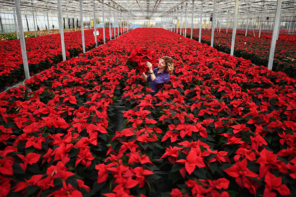 Preparation「Traditional Poinsettia Plants Ready For Distribution As UK Prepares For Covid Christmas」:写真・画像(1)[壁紙.com]