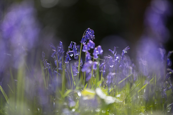 Animal Wildlife「Glorious Bluebells In Full Bloom」:写真・画像(13)[壁紙.com]