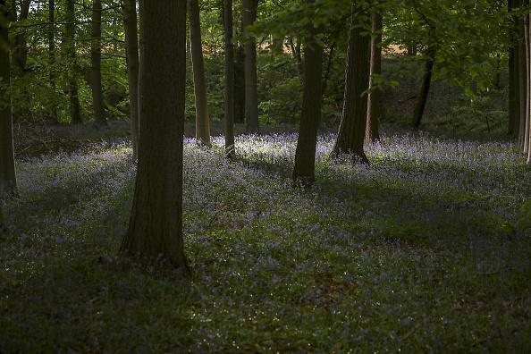 Woodland「Bluebells In Bloom In Knutsford」:写真・画像(1)[壁紙.com]