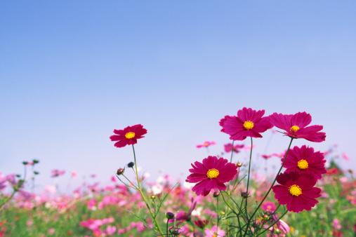 Cosmos Flower「Red Cosmos Flowers」:スマホ壁紙(19)