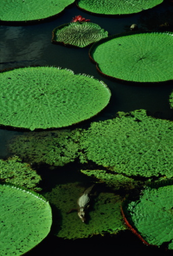 Amazon Rainforest「Alligator (Alligatoridae) on giant lily pad, Brazil」:スマホ壁紙(14)