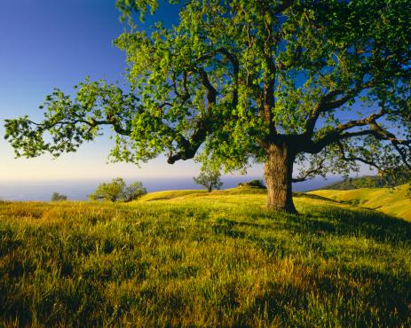 Single Tree「Lone Oak Tree On Hill Top (g)」:スマホ壁紙(13)