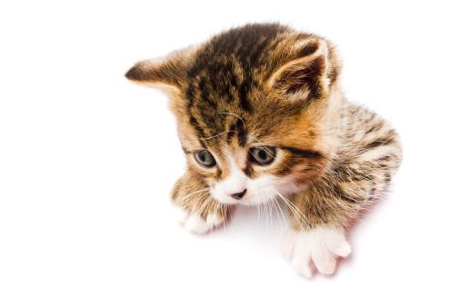 Mixed-Breed Cat「kitten on the white card」:スマホ壁紙(7)