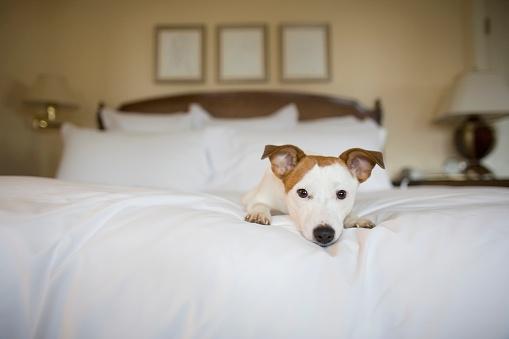寂しさ「Small dog laying on bed」:スマホ壁紙(3)