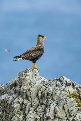 Falkland Islands「Southern crested caracara (Caracara plancus)」:スマホ壁紙(17)