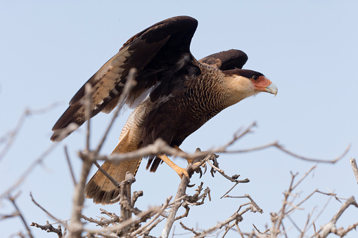 Hawk - Bird「Southern Crested Caracara」:スマホ壁紙(8)