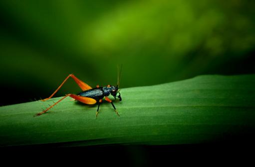Insect「Tiny orange and black cricket on grass leaf」:スマホ壁紙(8)