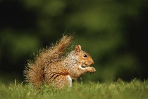 リス「Squirrel, ground view, close-up」:スマホ壁紙(2)