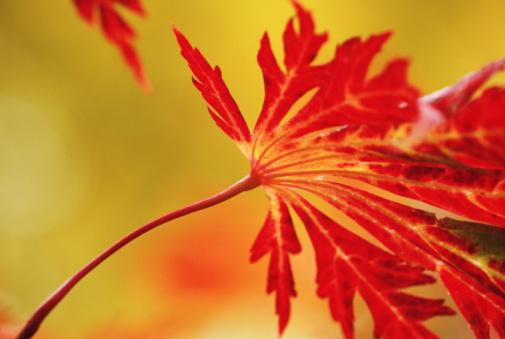 Japanese Maple「Autumnal Fern Leaf Maple leaf (Acer japonicum), close-up」:スマホ壁紙(14)