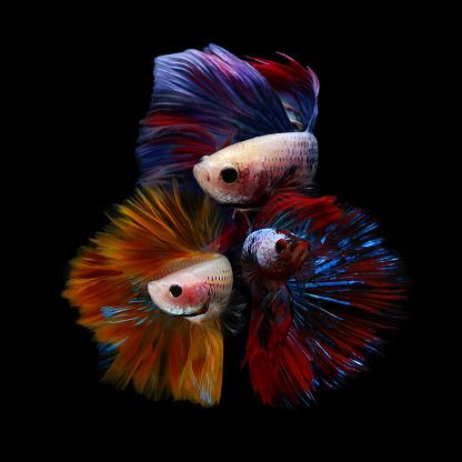 Three Animals「Three betta fish」:スマホ壁紙(5)