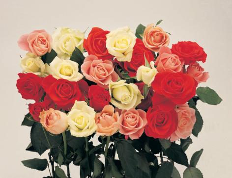 薔薇「Roses」:スマホ壁紙(1)