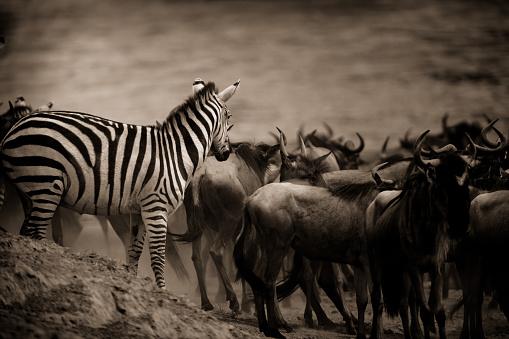 Sepia Toned「Zebra looking on」:スマホ壁紙(14)