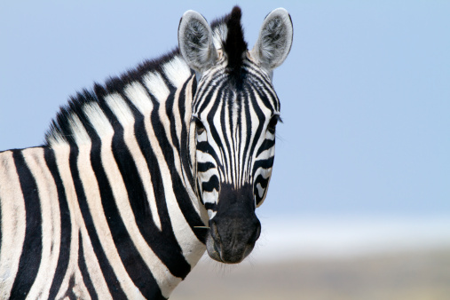 Zebra「Zebra looking at camera, Etosha National Park, Namibia」:スマホ壁紙(8)