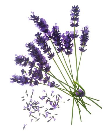Lavender Color「Fragrant lavender flowers in bunch on white.」:スマホ壁紙(5)