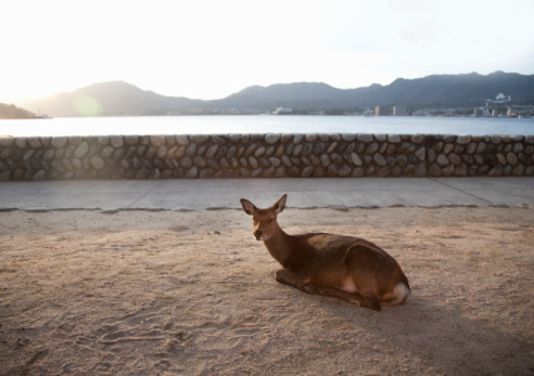 Deer「deer resting on the island of miyajima」:スマホ壁紙(14)