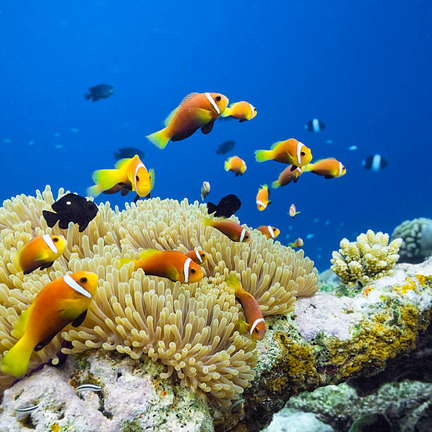 Maldives Anemonefish - Amphiprion nigripes:スマホ壁紙(壁紙.com)