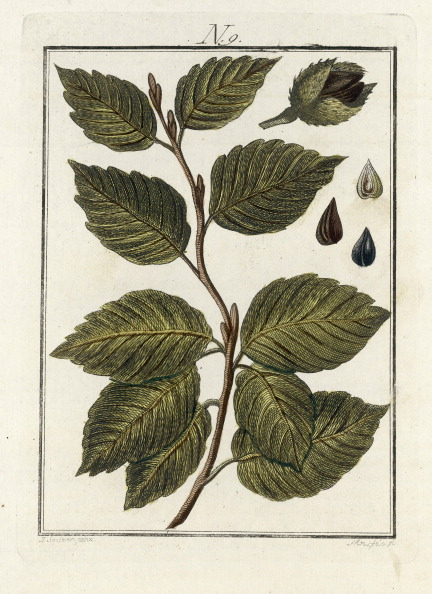 Beech Tree「The Leaves Of The Beech Tree. From Die Welt In Bildern. Band 3. Baumeister. Vienna. 1790.」:写真・画像(16)[壁紙.com]