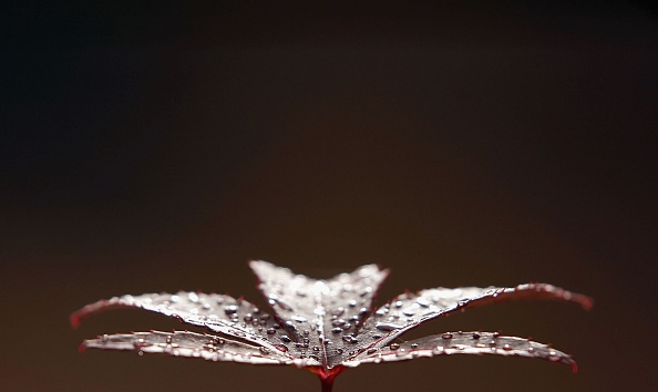 Japanese Maple「Climate Change Slows The Onset Of Autumn」:写真・画像(17)[壁紙.com]